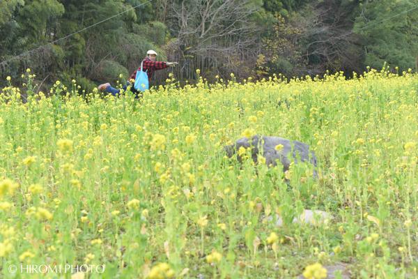 千歳川菜の花その2