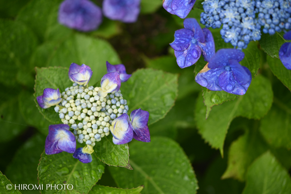 幕山公園の紫陽花