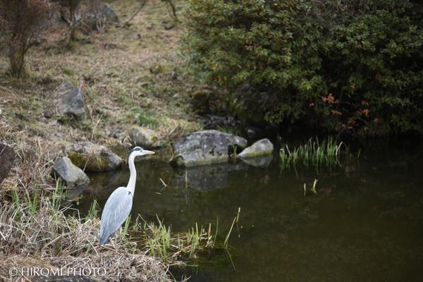 幕山公園にて青鷺