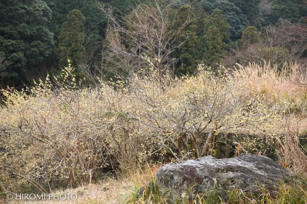 幕山公園の蠟梅