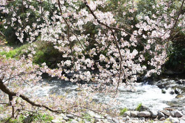 千歳川の桜2020