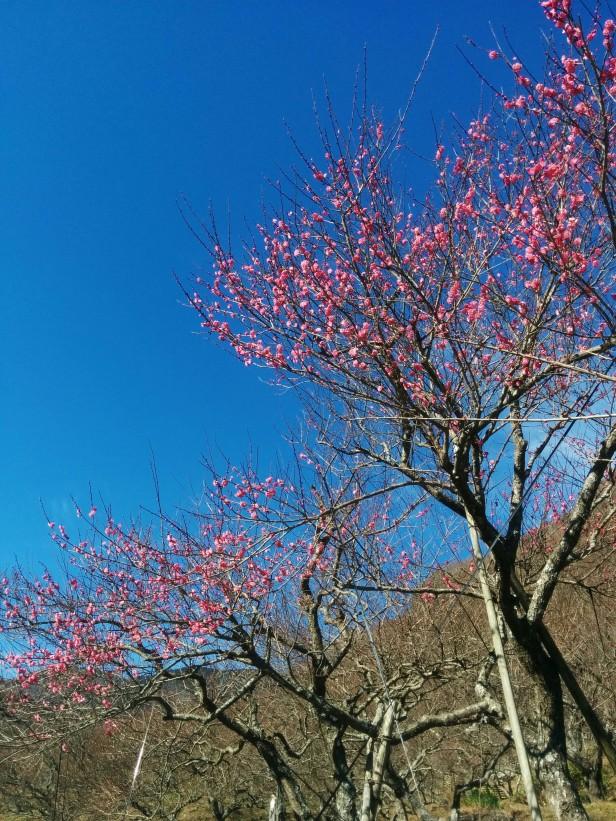 幕山公園の紅梅